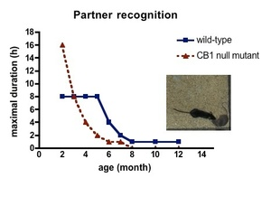 The maximum duration of partner recognition rapidly decreases in aging in CB1 receptor null mutant animals.